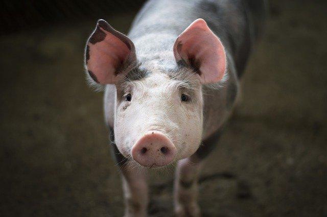 שאלו את המומחה: חזיר כשר